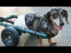 Paralyzed Dog Gets His Wheels. Whew...made me cry!