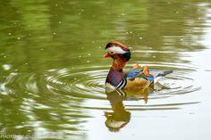natur Bird, Animals, Mandarin Oranges, Nature, Animales, Animaux, Birds, Animal, Birdwatching