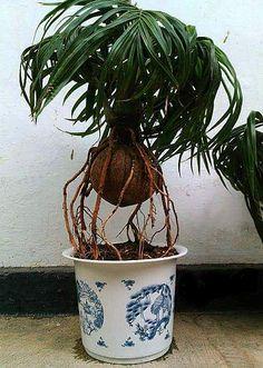 Bonsai Plants, Bonsai Garden, Potted Plants, Cactus, Dream Garden, Botany, Houseplants, Container Gardening, Garden Wedding