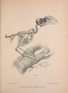 The Helmet Vanga (Euryceros prevostii) by BioDivLibrary on Flickr.  http://en.wikipedia.org/wiki/Helmet_Vanga  Osteologia avium, or, A sketch of the osteology of birds /.  [Wellington] :Published by R. Hobson, Wellington, Salop,1858-1875..  biodiversitylibrary.org/page/41399243