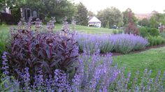 catmint Google Image Result for http://www.donaldpell.com/IMG_2342.JPG