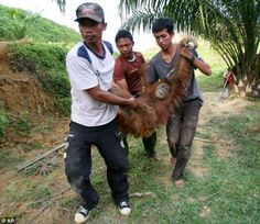 Rescue: Activists of from the SOCP carry the injured orangutan away ...