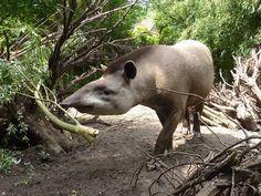Tapir Eerste Stappen Buiten In Dierenpark Wissel