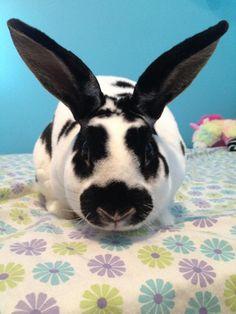 Meet LINK!, an adoptable Mini Rex Rabbit | Naugatuck, CT | Description to come. Stay tuned...