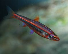 Sailfin Shiner | The rainbow shiner will transform from its normal reddish coloration ...