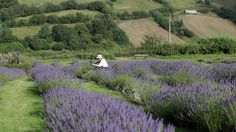 From a lavender farm in the countryside to a denim mill revitalising a harbour town, Wales is using its traditions and craft to benefit new industries. New Industries, Wales, Countryside, Country Roads, Film, How To Make, Travel, Lavender, Benefit