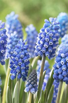 Muscari is a genus of perennial bulbous plants native to Eurasia that produce spikes of dense, most commonly blue, urn-shaped flowers resembling bunches of grapes in the spring. The common name for the genus is grape hyacinth (a name which is also used for the related genera Leopoldia and Pseudomuscari, which were formerly included in Muscari), but they should not be confused with hyacinths. A number of species of Muscari are used as ornamental garden plants.