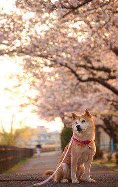 akita dog and cherry blossom by senogawa_dogs Cute Dogs And Puppies, Pet Dogs, Dog Cat, Beautiful Dog Breeds, Beautiful Dogs, Shiba Inu, Cute Dog Wallpaper, Chiba, Hachiko