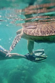 Snorkeling with Sea Turtles - Green Sea Turtles are endangered and hard to find anywhere else, but you're almost guaranteed to see them in Derawan Islands Indonesia! Animals Of The World, Animals And Pets, Endangered Sea Turtles, Visit Vietnam, Turtle Love, Underwater Life, Reptiles And Amphibians, Ocean Life, Under The Sea