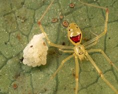 The Happy Spider Found only on the islands of Oahu, Molokai, Maui, and Hawaii.