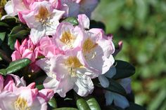 Rhododendron 'Brigitte' - mit besonders prachtvollen Blüten. Der Kontrast zwischen Blattfarbe und Blütenfarbe ist einzigartig! Tolles Solitärelement im heimischen Garten.