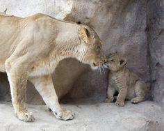 Cute alert: Denver Zoo's new lion cubs Kalu and Kamara make debut - 7NEWS Denver TheDenverChannel.com