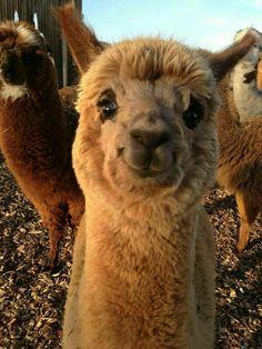 Incredibly photogenic llama:)