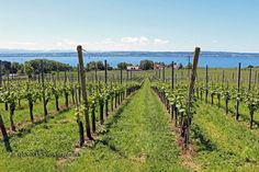 Wine travel, the best bits of Lake Constance - Yahoo Lifestyle UK Vineyard, Good Things, Wine, Paradise, Travel, Outdoor, Lifestyle, Bathing, Outdoors