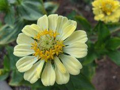 pale yellow zinnia
