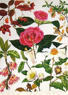Nina In Florida: Vintage Botanical Prints Camellias