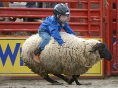 A boy participates in Mutton Bustin' at the Cloverdale Rodeo in Canada    - photo by Xinhua / Rex Features