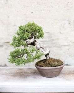 Tiny, tortured bonsai trees, wise beyond their years, fascinate me. What separates them from their shopping mall cousins–shelves of identical plants, each