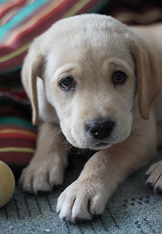"""Yellow Labrador Retriever Puppy"" ---- [Photographer Kamila Shakhzadaevna - February 5 2012]'h4d'121203"