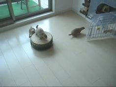 A first! Prairie dog riding a Roomba #cute #animal #video