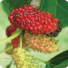 Black Mulberry tree, requires a larger block to grow with delicious produce! Read more about caring for fruit trees #searles.com.au #fruit #tree #garden #plant #red #mulberry #australia