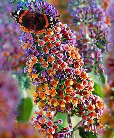 Schmetterlingsflieder 'Flower Power' - New Ideas Flower Power, Love Flowers, Beautiful Flowers, Buddleja Davidii, Cactus Plante, Small Potted Plants, Butterfly Bush, My Secret Garden, Gardening