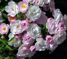 Guirlande Rose Rambler Hybrid Wichurana Boudolf 2008