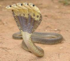 Snake with five head in India
