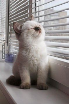 9GAG - ColorPoint kitten and window