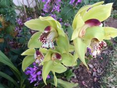 Cymbidium Orchid growing wild in my garden www.potager-garden.com