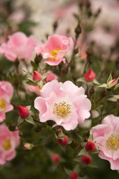 Carefree Delight™ Shrub Rose - Monrovia - Carefree Delight™ Shrub Rose