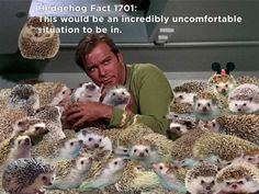 """Fact: """"The Trouble With Hedgehog Facts"""" is nine out of ten hedgehogs' favorite Star Trek episode. The rest prefer """"The City on the Edge of Forever. Hedgehog Facts, Hedgehog Care, Cute Hedgehog, Cute Baby Animals, Funny Animals, Funny Cute, Fur Babies, Cute Pictures, The Incredibles"""