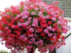 Nothing in this basket but ivy geraniums...that don't need to be pinched!!!  (I have always pinched them.  Not this year.) garden-ideas