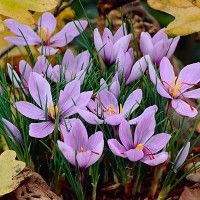 Grow your own saffron. These beautiful purple crocus flower in fall and offer you pure saffron on each flower's stigmas.  They're easy to grow and do well in containers. (Crocus sativus);