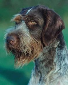 "Loyal and affectionate, the German Wirehaired Pointer craves human companionship and bonds closely with its ""people."" A high energy and high drive breed, the Wirehair must receive regular exercise or have a job to do; otherwise their creativity and independence may get them into trouble! Although they shed lightly year-round, Wirehairs with a correct coat require only minimal grooming."