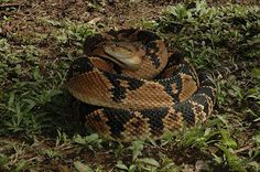 Ninth deadliest snake in the world: Bushmaster, found Central and South America. The longest viper in the world generally stays hidden, but can strike multiple times at once. Pics Of Snakes, Snake Wallpaper, Colorful Snakes, Pit Viper, Snake Venom, Earth Photos, Beautiful Snakes, Crocodiles, Reptiles And Amphibians