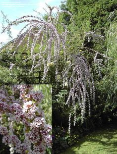 """Full size picture of Fountain Butterfly Bush, Alternate-Leaf Butterfly Bush : this or the 'Argentea' version? HAVE HAD 1 YEAR.... still a few twigs up to 18"""", but coming out of dormancy, showing flower buds in mid April, 2014"""