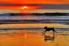Dog runs on the beach at sunset in Oceanside.