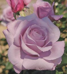 rare roses - Google Search