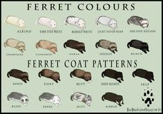 Ferret colors and coat patterns. Hamsters, Ferrets Care, Funny Ferrets, Rodents, Ferret Toys, Pet Ferret, Cute Baby Animals, Otters, Chinchillas