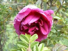 Full size picture of Hybrid Rugosa Rose 'Roseraie de l'Hay'