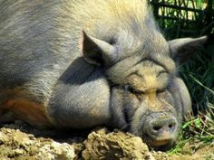 Sow Sleeping. Cute face, but I wouldn't want to tango with her.