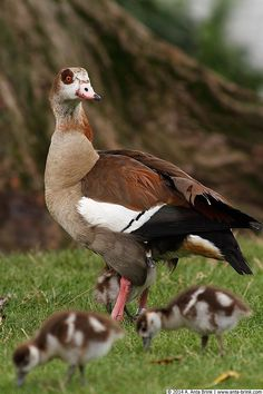 Egyptian Goose with chicks.
