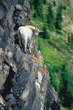 Mountain Goat in Montana's Highwood Mtns