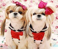 shih tzu haircuts lol