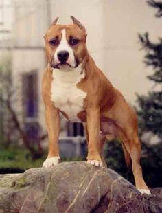 American Staffordshire Terrier  é uma raça canina. A raça descende  de outras raças americanas e foi desenvolvida com o intuito de ser uma  ...