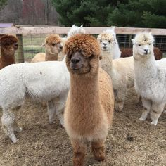 "Green River Hollow Farm on Instagram: ""Before shearing pic. Bangs in eyes and fluff galore"" Farm Animals, Animals And Pets, Funny Animals, Cute Animals, Orca Art, Llama Pictures, Farm Family, Llama Llama, Animal Funnies"