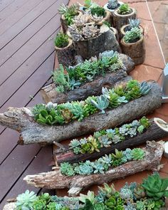 Succulent gardens in hollowed out logs and also in timber rounds available from the Succulent Guy at the Byron Bay Beachside Market - Easter Saturday 26th March. by thesucculentguy