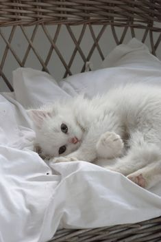 comfy little white kitten - so sweet! | Fröken Knopp : En (s)Katt...