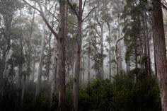 Misty Eucalypt Forest, Mount Roland Tasmania